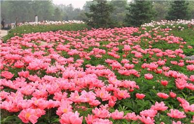 郑州市园林局10万盆月季花免费赠市民了!