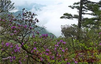 登峻峰、赏杜鹃……河南这里的杜鹃花盛放等你来!