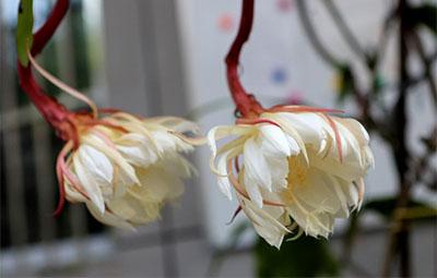罕见!郑州三株昙花竟在大白天开放!