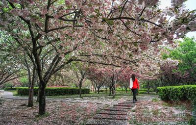 """鹤壁:一起""""云赏樱"""",让粉嫩的春意点亮心情"""