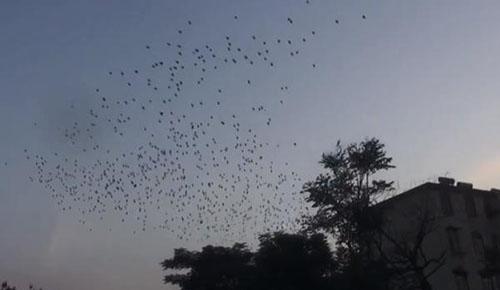 震撼!数千飞鸟掠过洛阳上空!