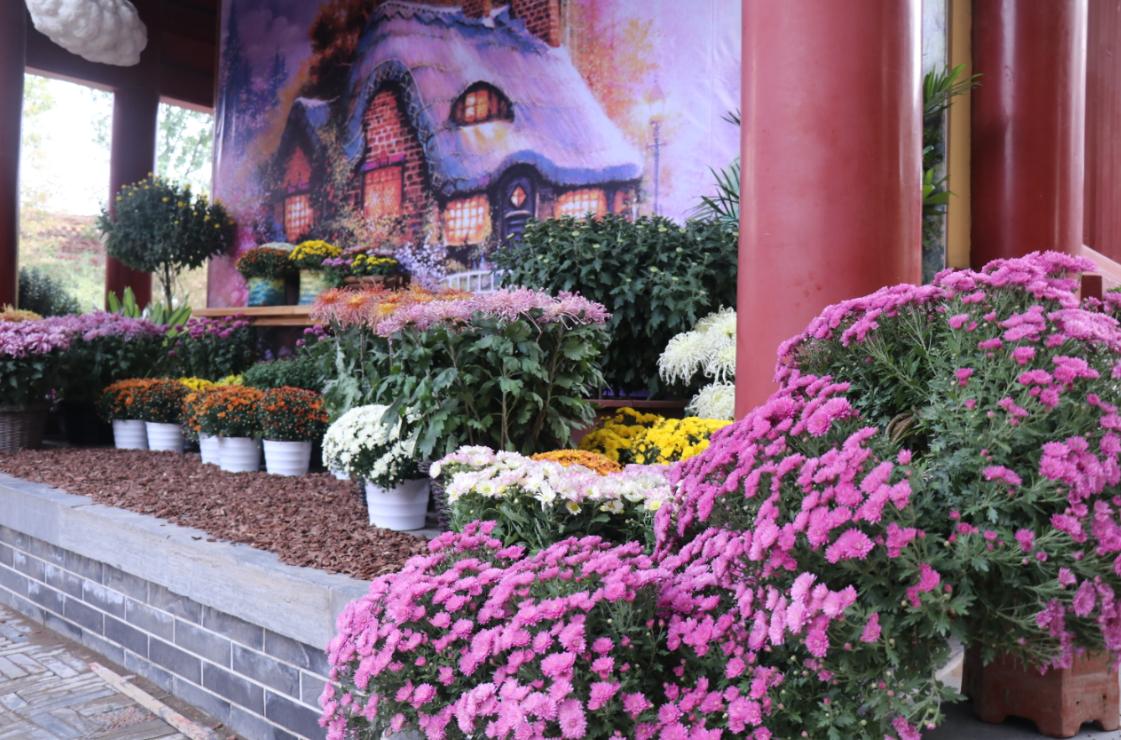 城以菊名:菊花塑造城市品格