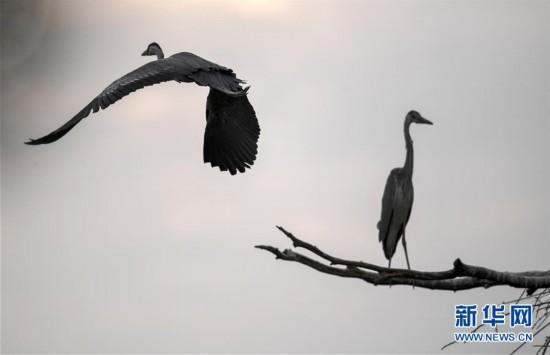 (环境)(5)陕西洛南:周湾苍鹭千姿百态