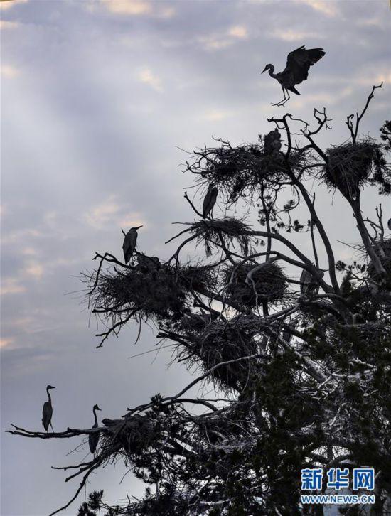 (环境)(4)陕西洛南:周湾苍鹭千姿百态