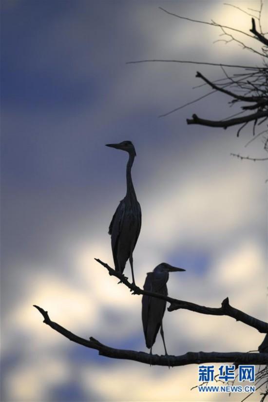 (环境)(2)陕西洛南:周湾苍鹭千姿百态