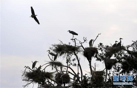 (环境)(3)陕西洛南:周湾苍鹭千姿百态