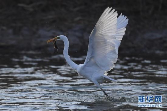 (环境)(1)山西太原:白鹭汾河舞