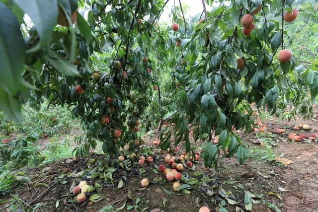 数万斤鲜桃超低价抢购!小重渡沟农庄百亩桃园采摘基地对外开放