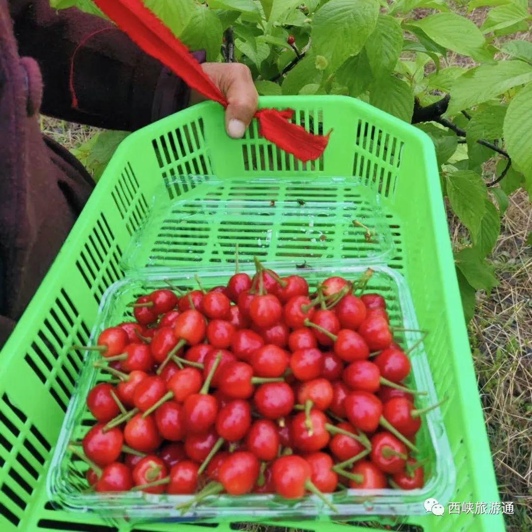 西峡新远方农场摘樱桃