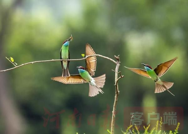 """""""中国最美小鸟""""长啥样?走,让我们去新县与蓝喉蜂虎来一次美丽邂逅"""