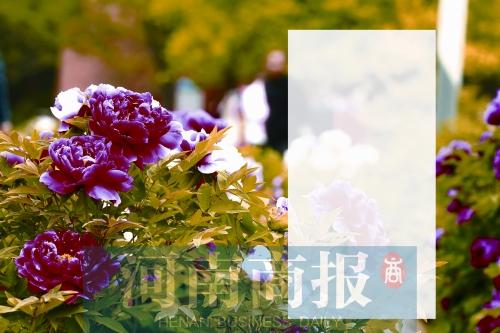 牡丹盛开 郑州这三个展区可赏花