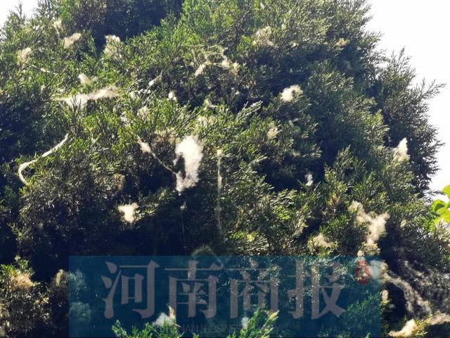"""郑州又到""""飞絮时间"""",啥时候能告别""""白毛毛""""?市园林局给出时间了"""
