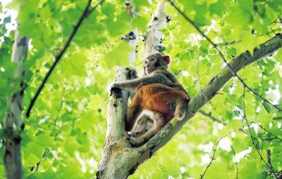 """一猴子在闹市区闲逛 与围捕者""""斗智斗勇"""""""