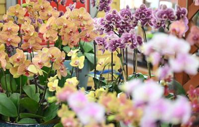 年宵花进入热销高峰季,蝴蝶兰涨幅高达15%
