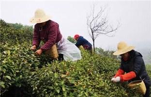 揭秘信阳毛尖价格之谜 一斤干茶成本如此高