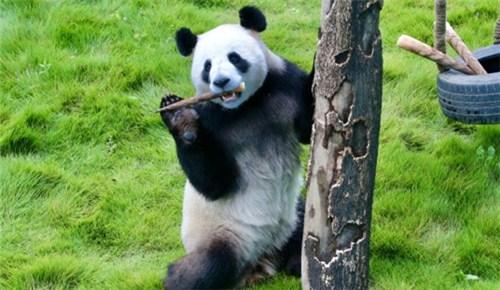 哥俩萌翻全场!两只大熊猫正式与河南游客见面